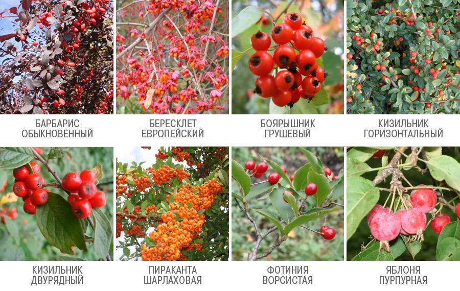 кустарник с мелкими ягодами