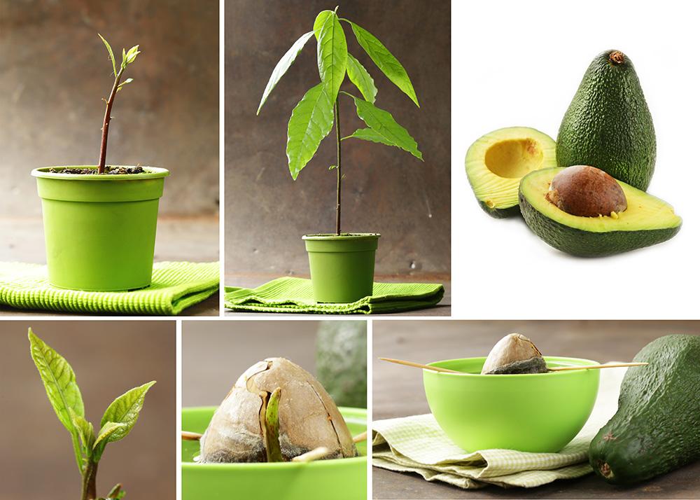 авокадо из косточки в картинках этот комплекс