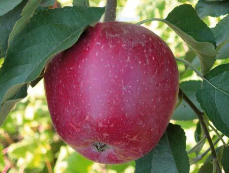 Амулет сорт яблок описание сорта замена переднего опорного подшипника на чери амулет