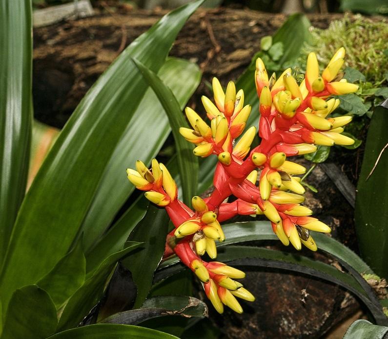 Цветок эхмея хвостатая: уход в домашних условиях