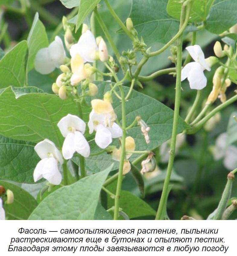 Выращивание фасоли на даче, как сажать фасоль воткрытый грунт, как вырастить фасоль дома