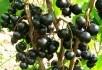 Знак якості: універсальні сорти чорної смородини