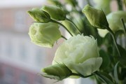 """Квіти для """"професіоналів"""": досвід вирощування еустоми і тореніі"""
