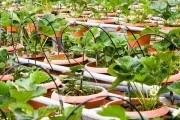 Зручно та ефективно: переваги вирощування ягідних культур в контейнерах