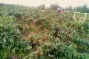 Стабільний врожай у будь-яку погоду: особливості вирощування ремонтантних сортів малини