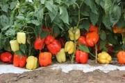 Отримати врожайність солодкого перцю 80 тон з 1 гектара - це реально!