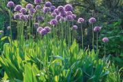 Їстівні анзури: практична краса на городі