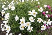 Пишні та розкішні: особливості весняної посадки півоній