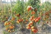 Помідори мають потреби: сорти та прийоми для гарного врожаю