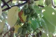 Найкраща з ліан: актинідія аргута в садах України