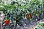 Мріі збуваються: врожайні та великоплідні сорти городніх культур