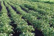 """Яку картоплю вибрати? Традиційні та """"кольорові"""" сорти картоплі для посадки"""