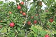 """""""Високе"""" мистецтво: як обмежити зріст плодових дерев"""
