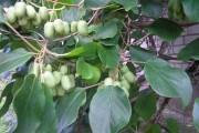 Дитинство актинідії: розмноження культури зеленим живцюванням