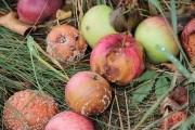 На що хворієш, яблучко? Як зберігати врожай яблук у сховищах
