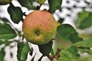 Плодові рослини і вода: режим поливів у саду