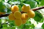"""Солодкі та яскраві """"сонечка"""": вирощуємо абрикоси вітчизняної селекції"""