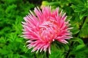 Хай квітнуть зорі: особливості догляду за каллістефусом