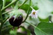 Баклажан – тендітний овоч: особливості культури