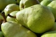 Літо на десерт: пізні сорти груш