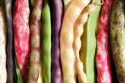 Звична, але незвичайна культура: найцікавіші сорти та види квасолі