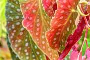 Пістряве листя бегоній