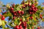 Садова аптека: вирощуємо цілющі культури – глід, барбарис та кизил