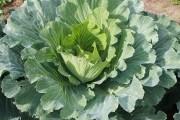 Здорова городина для кожної родини: як лікувати неінфекційні захворювання овочів та коренеплодів