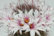 У квітучому віночку посеред зими: вирощуємо маміллярії