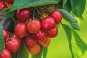"""""""Пташина"""" ягода: цілющі властивості та смакові якості черешні"""