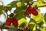 харчові та декоративні властивості різних видів кизилу