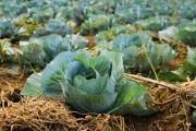 Смачненьке листя зелененьке: як виростити та зберегти гарний врожай білокачанної капусти