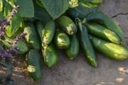 В пошуках ідеальних огірків: гібриди чеської селекції