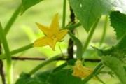 Огірковому роду нема переводу: вирощуємо огірки на насіння