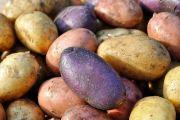 новые сорта картофеля
