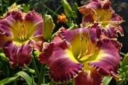 Коли рослинам потрібна зима:  тепла зимівля лілійника та її наслідки