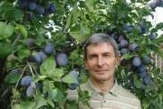Слива сприбылью: выбираем продуктивные сорта