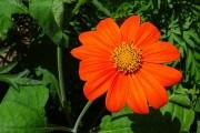 Полум'яна квітка: як виростити титонію