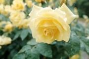 В объятиях душистых роз: плетистые формы в вертикальном озеленении