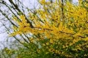 Садові дива: квітучі та декоративні рослини для весняного цветіння
