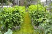 Картофель по ЭМ-технологии: эффективный и нетрудоемкий способ выращивания