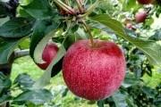 Символ здоровья,  радости и достатка – яблоко
