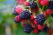 Врожай підкорюється правилам: агротехнічні поради для вирощування ожини