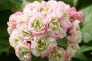 Пеларгонія – незамінна у саду:
