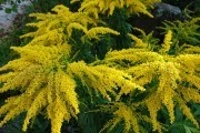 Поцілований сонцем солідаго: види і сорти для садиби
