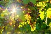 Виноградні таємниці: практичні поради для хорошого врожаю