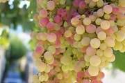 Свято смаку: способи зберігання винограду у сховищах