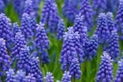 """""""Мишача квітка"""": прикрашаємо весняний квітник тендітними мускарі"""