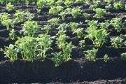 Яскравий Екзотик: цікавий сорт кольорової картоплі