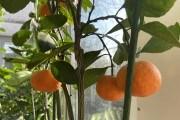його величність мандарин